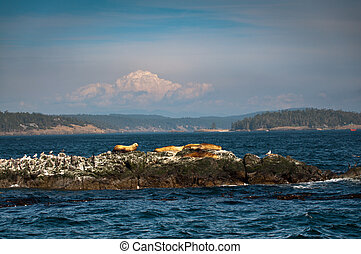 Sea lions and birds on an islet in Puget sound - Sea lions...