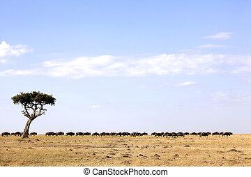 Masai Mara Wildebeest Migration - Wildebeest (Connochaetes)...