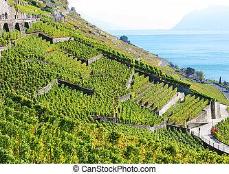 Famous vineyards in Lavaux region against Geneva lake....