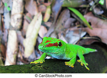 madagascar, día, gecko