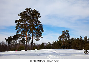 Winter lanscape with pine trees