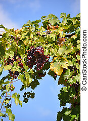 Ripe grapes against blue sky