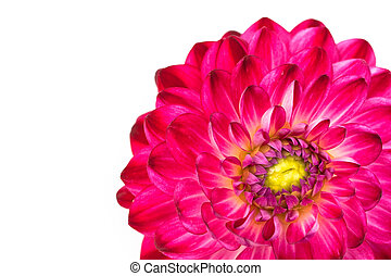 Macro view of pink flower dahlia  isolated