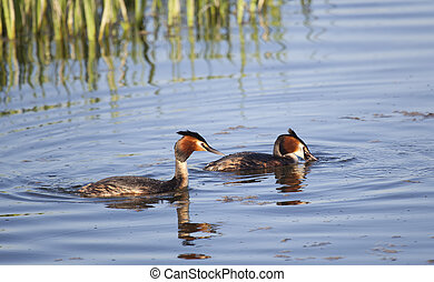 Great Crested Grebe, Salburua, Vitoria, Alava, Spain
