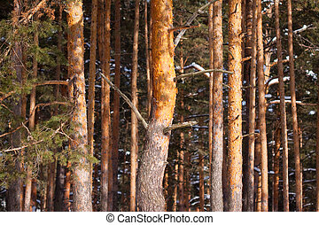 pine forest in winte - View of pine forest in winter day