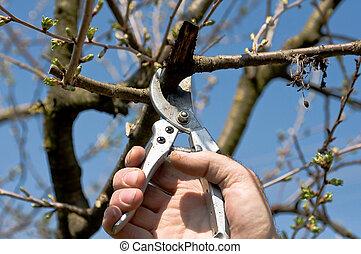 Pruning of cherry tree - Pruning of the cherry tree