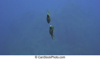 Puffer fish - Sea life - A pair of Macaronesian...