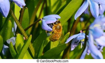 bee on spring blue flowers, macro