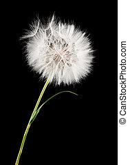 dandelion - white dandelion isolated on black