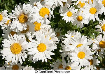camomile - white camomiles