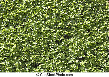 elm hedge background - background and texture of a neatly...