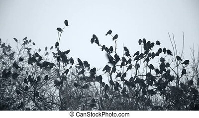Crows - Corws in the falling snow