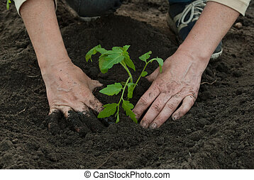 mulher, plantar, tomate, planta