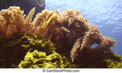 Red seaweed - Sea life - Red seaweed water moved
