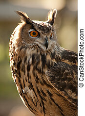 In the sun - Great Horned Owl (Bubo virginianus) looking to...
