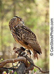 Great horned owl (Bubo virginianus) - great horned owl with...