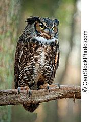 Great horned owl Bubo virginianus - Great horned owl sitting...