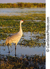 Sandhill Crane in Taylor Creek, Lake Okeechobee, Florida