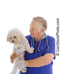 vet with Bichon Frise - Vet checking the health of a Bichon...