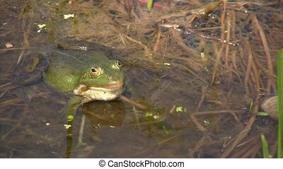 Frog in mating season - Green frog in mating season