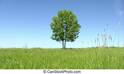 Solitary tree - Summer landscape - lonely tree on green...