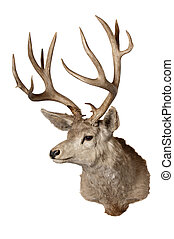 Typical Mule deer - Taxidermied typical Mule deer (odocoilus...