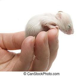 Newborn hamster in the hand on white background