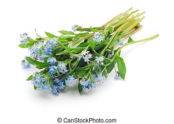 forget-me-not isolated