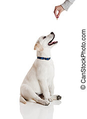 Good Dog - Beautiful labrador retriever cream puppy isolated...