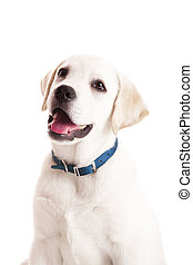 Labrador puppy - Beautiful portrait of a labrador retriever...