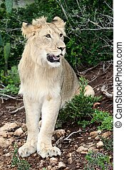 Lion Portrait - Portrait of a sub adult lion in the wild