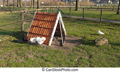 chicken coop - small coop used by poultry for shelter and...