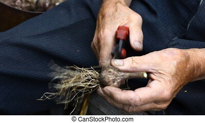 Yield. - Hands of an elderly man, purifying bulb of garlic.