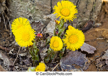 Coltsfoot in the spring breaking through the dead leaves on...