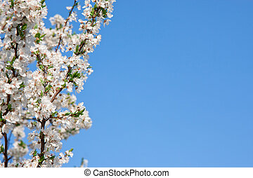 Spring blossom cherry tree flowers and blue sky