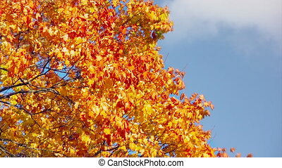Autumn background - Autumn scene, old maple on sky...