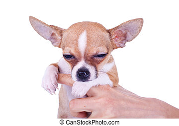 sleepy chiwawa puppy in the hands of a person, over white