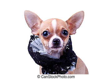 chihuahua small puppy wearing a cloth collar