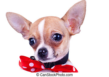 puppy Chihuahua crying
