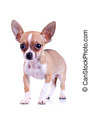 very scared chiwawa puppy standing on a white background