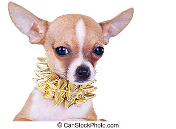 cluseup picture of a chihuahua puppy with golden studded...