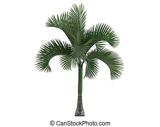 Carpoxylon Palm or Carpoxylon macrospermum - Carpoxylon Palm...