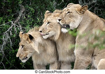 Lions - Female lion in the wild with her two sub adult...