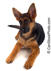 German shepherd puppy. White background.