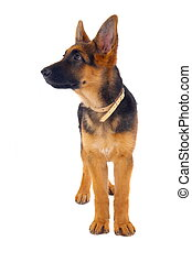 German Shepard - A young 3 months old German Shepard dog...