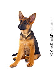 German Shepard sitting - A young 3 months old German Shepard...
