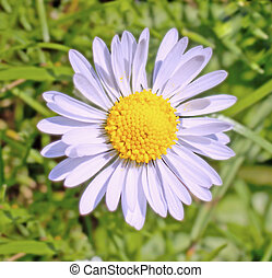 Daisy - Close up of a white daisy in a field