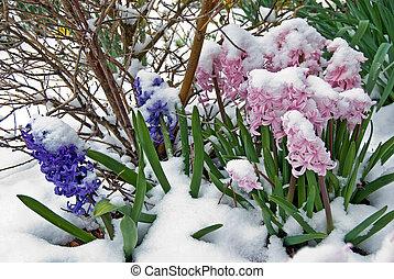 Snowy Hyacinths - Snow on spring hyacinths.