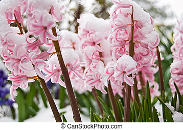 Spring Snow - Pink hyacinths covered in snow.