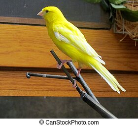 Song Bird on Perch - Yellow song bird sitting on its perch